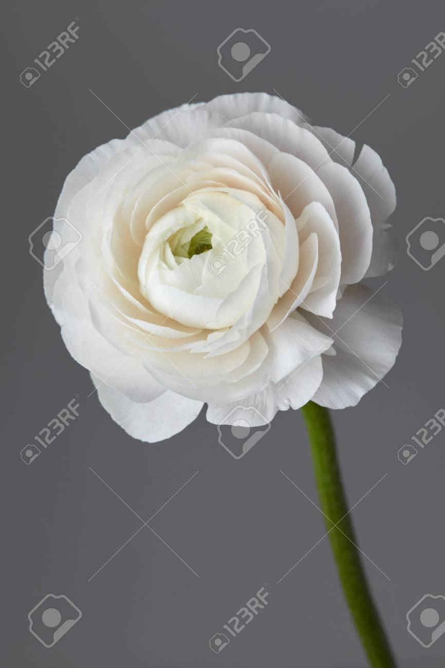 White Ranunculus Flower On A Gray Background Valentines Day Stock