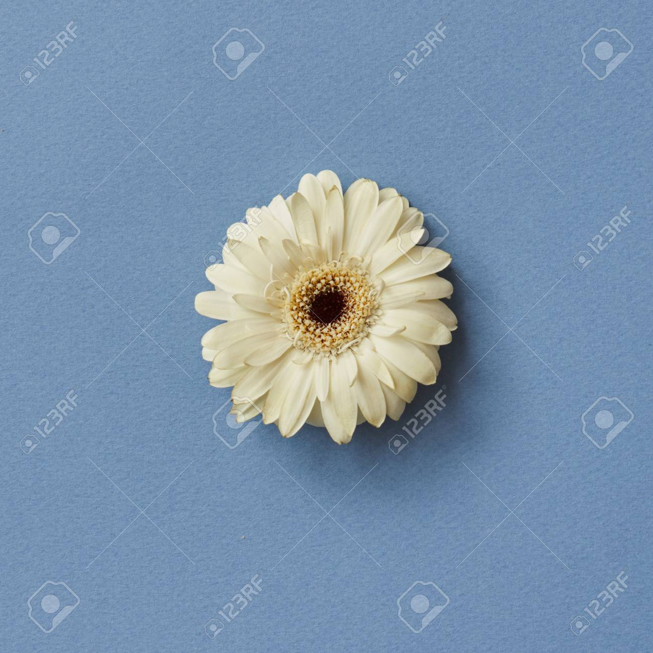 One White Gerbera Flower Isolated On A Blue Background Stock Photo