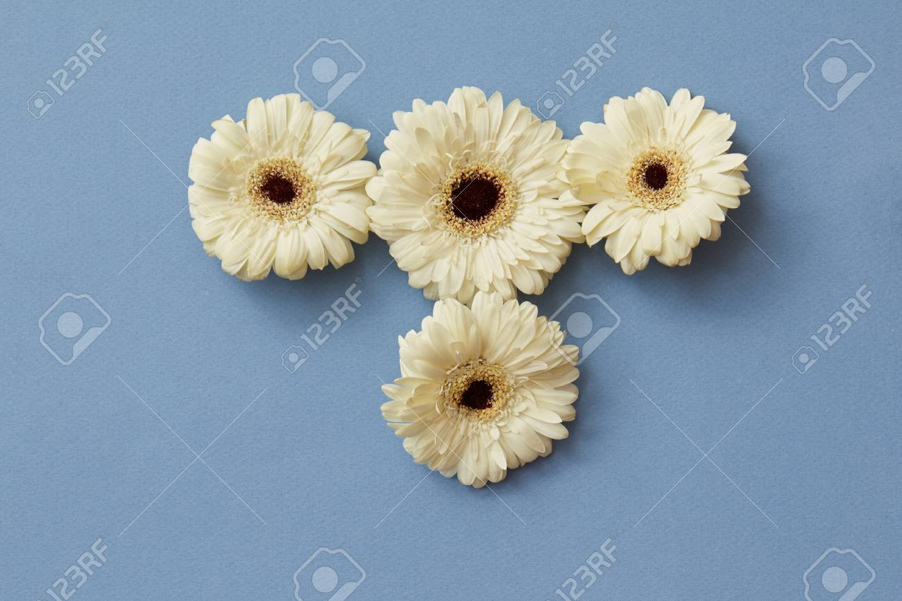 White Gerbera Flowers On A Blue Paper Background Stock Photo