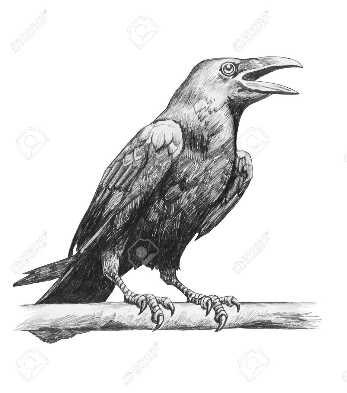 Pencil drawing of raven isolated on white background