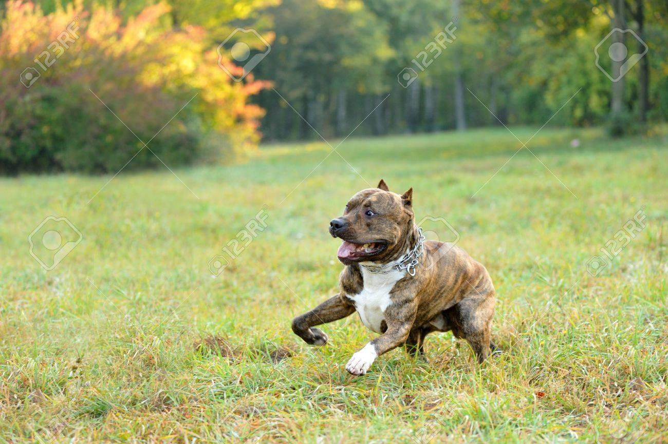 running pitbull terrier dog Stock Photo - 6654777