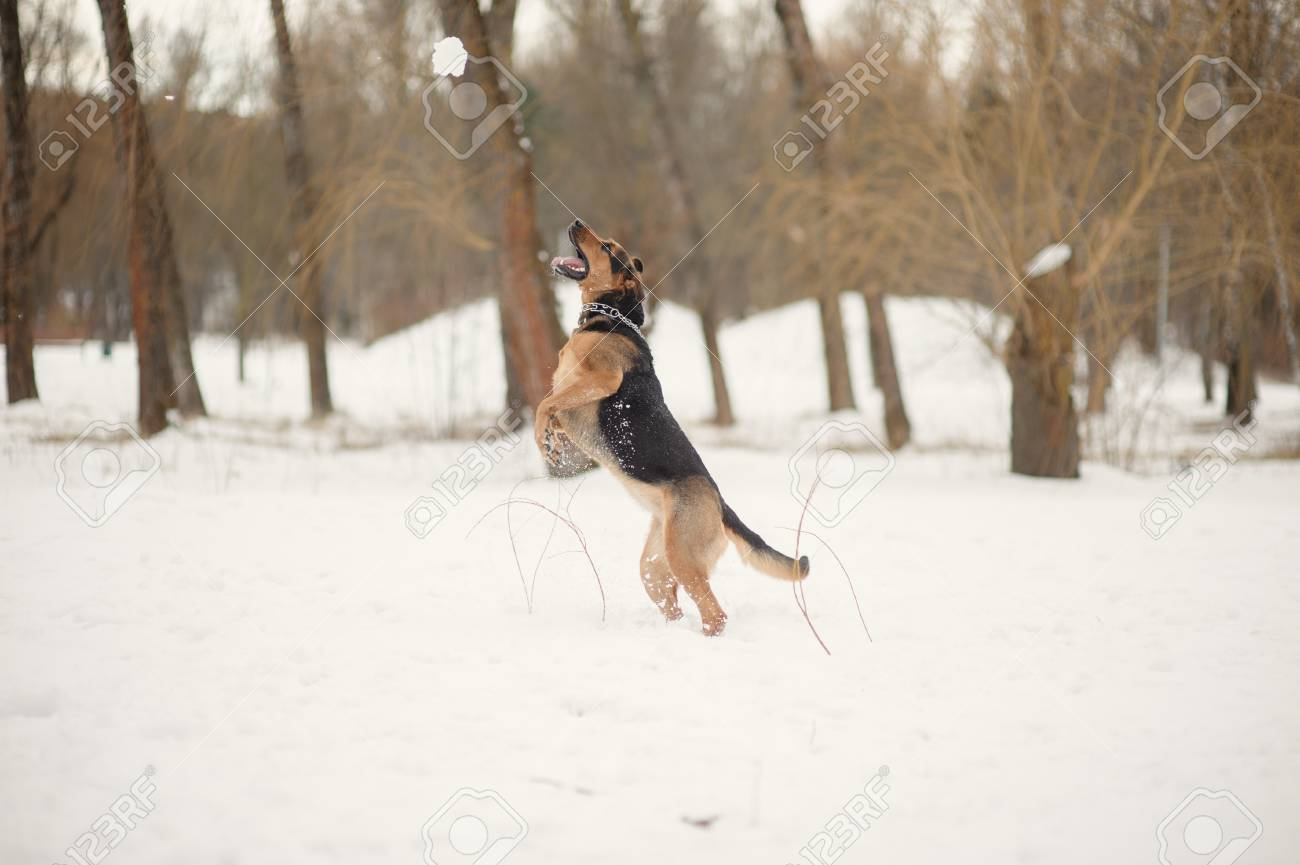 dog jumping on the snow Stock Photo - 16410223