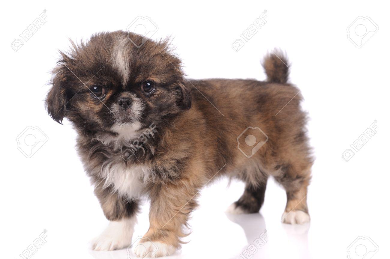 白い背景の上に孤立した小さな赤ちゃんペキニーズ犬