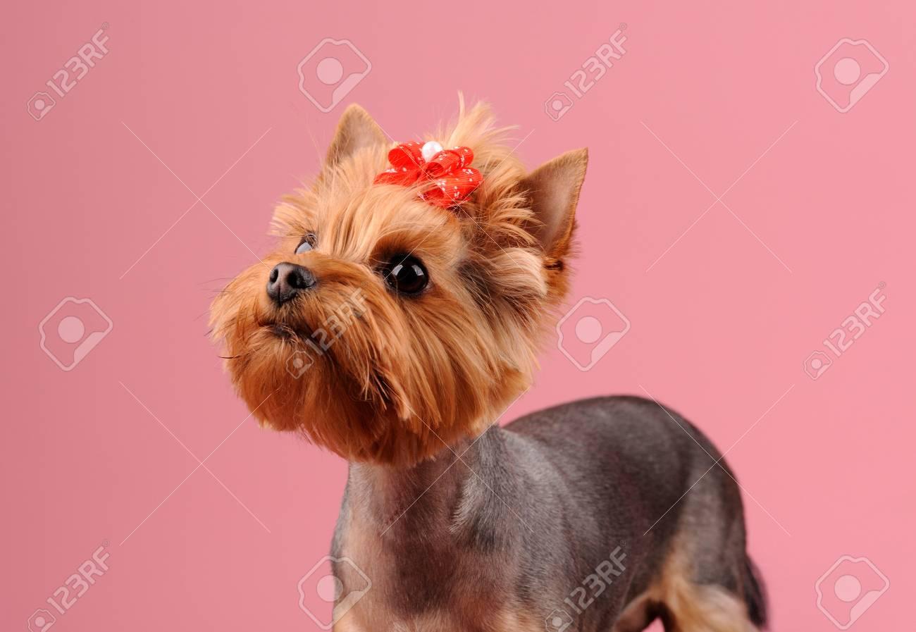 Grooming Yorkshire Terrier Professionelle Friseur Lizenzfreie Fotos