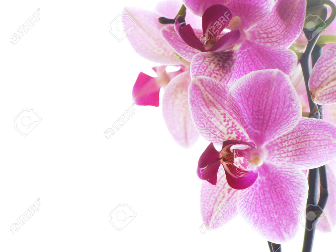 Closeup of a purple orchid isolated on white Stock Photo - 781470