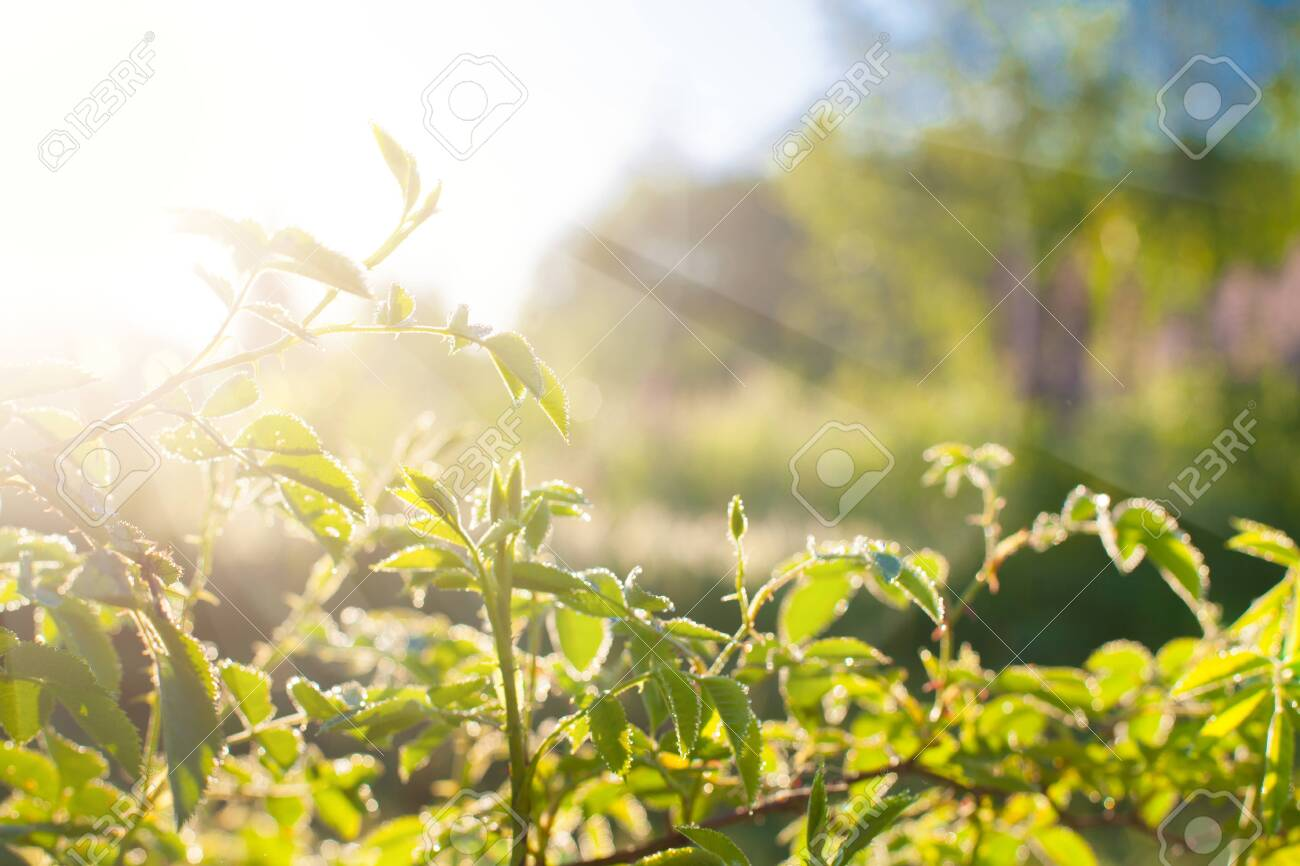 Green leaves at sunrise, plant rose in morning with sunlight - 135905130