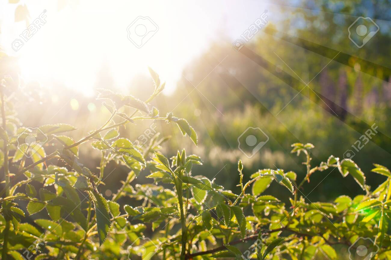 Green leaves at sunrise, plant rose in morning with sunlight - 141213552