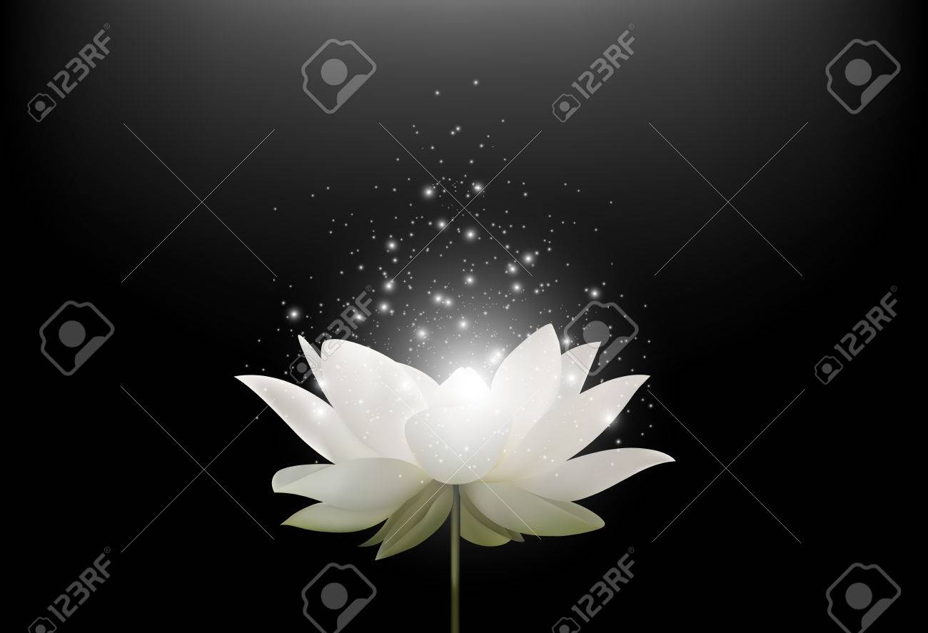Magic White Lotus Flower On Black Background Stock Photo Picture