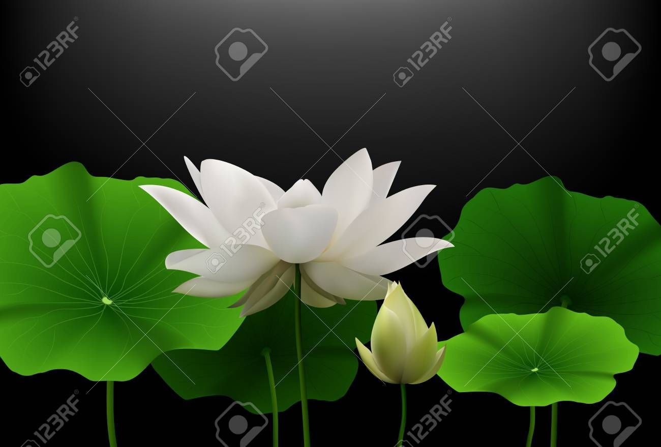 White Lotus Flower With Green Leaves On Black Background Stock Photo