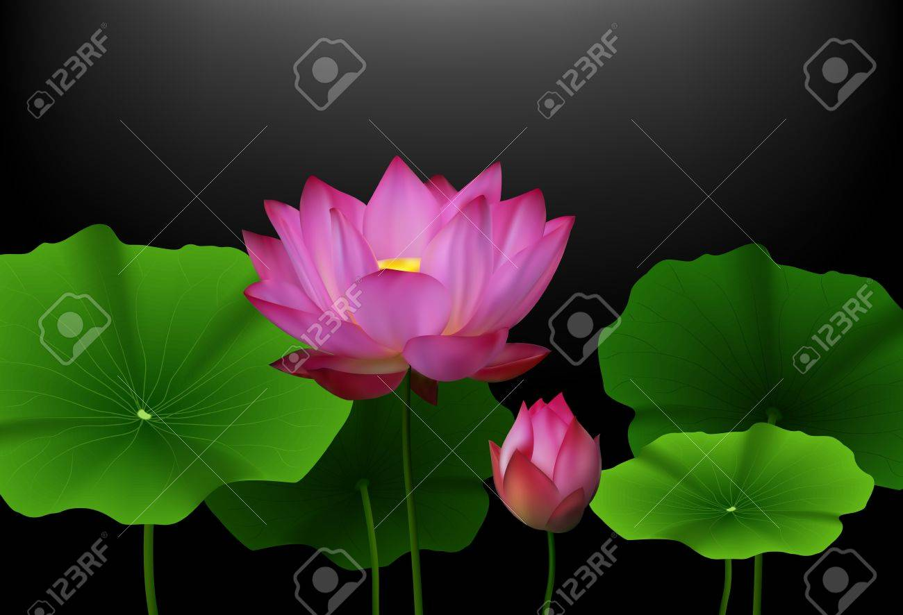 Pink Lotus Flower With Green Leaves On Black Background Stock Photo