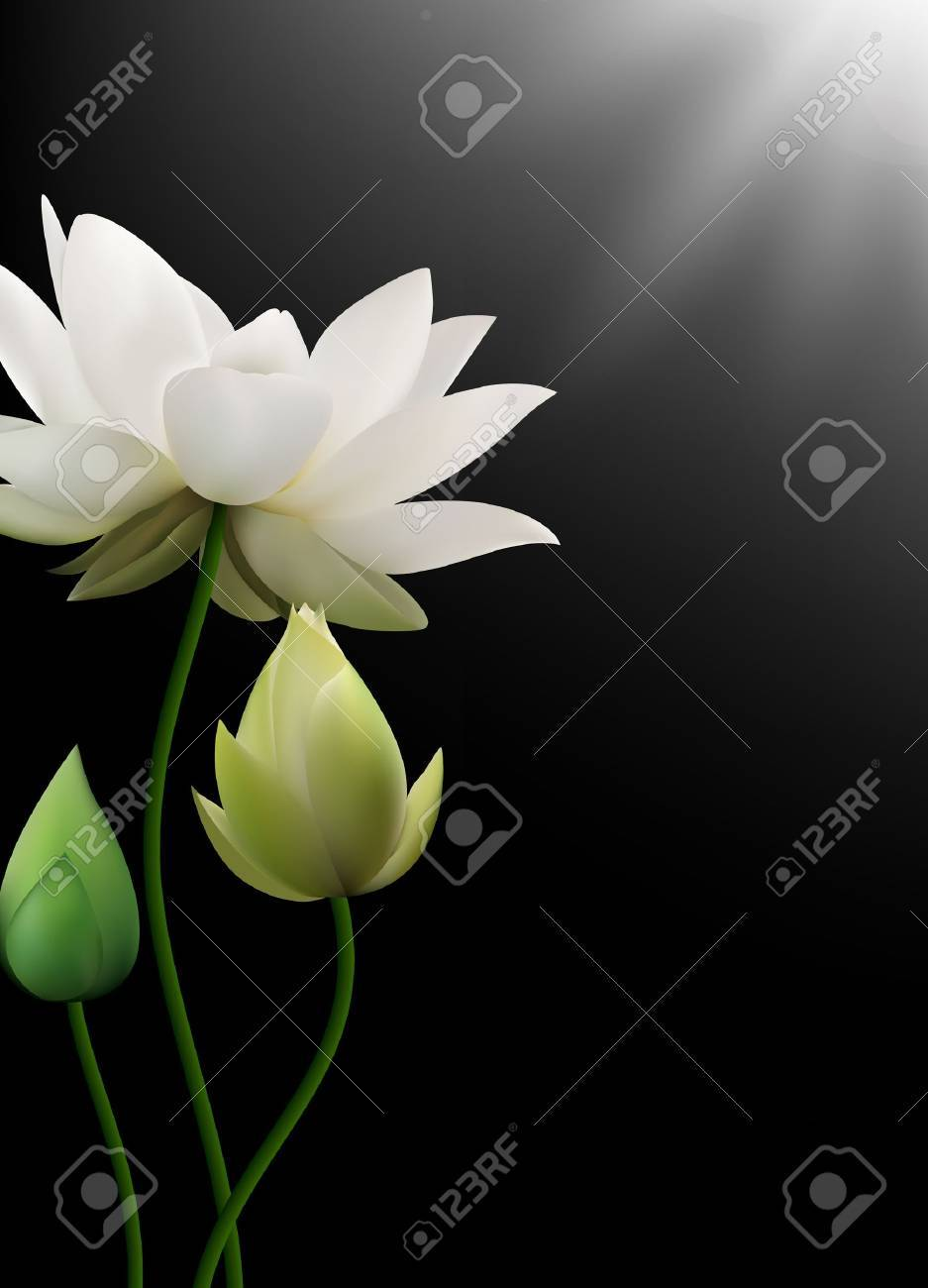 Vector Illustration Of White Lotus Flowers With Rays On Black