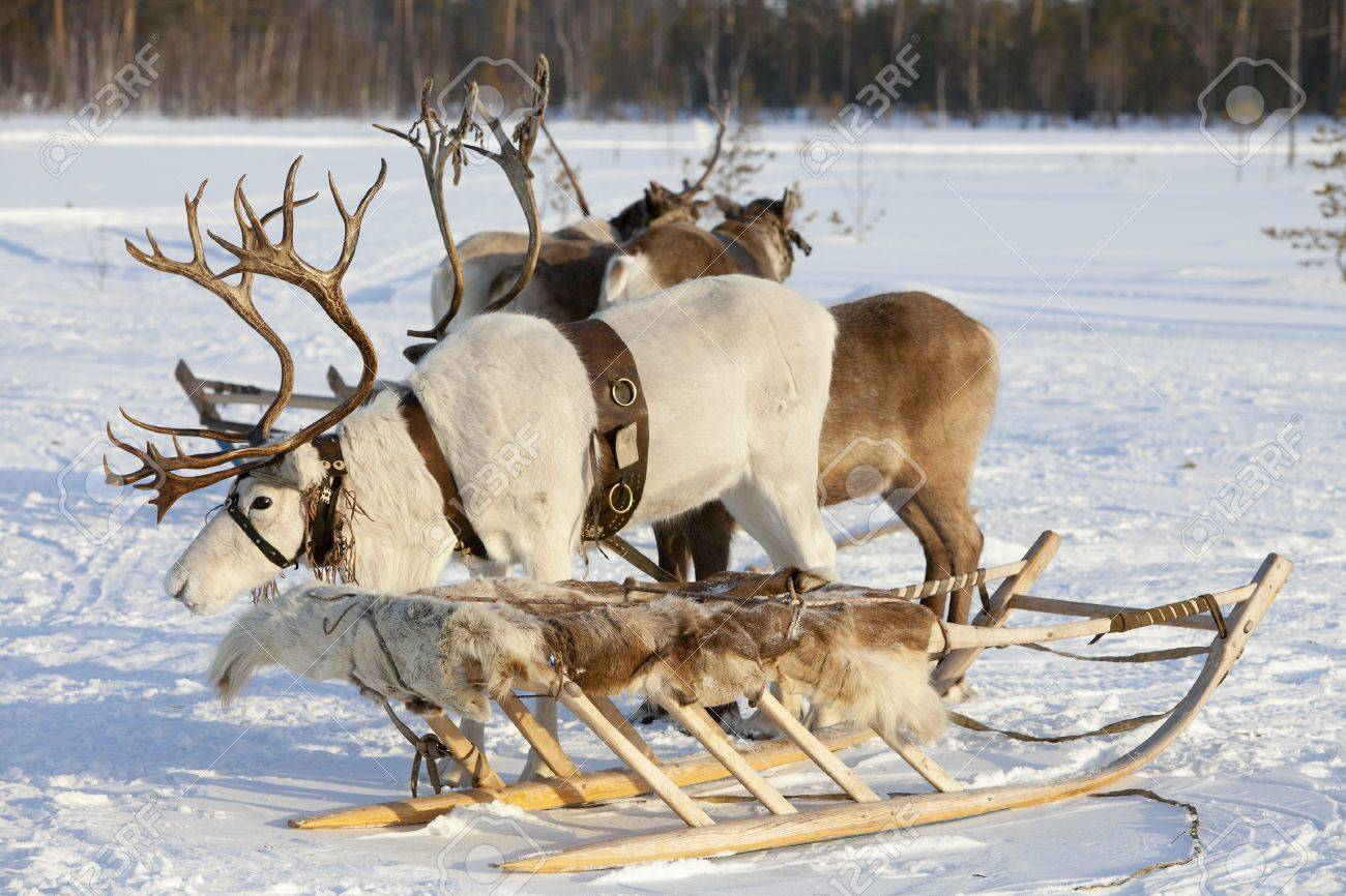 Reindeers are in harness during of winter day Stock Photo - 15450265