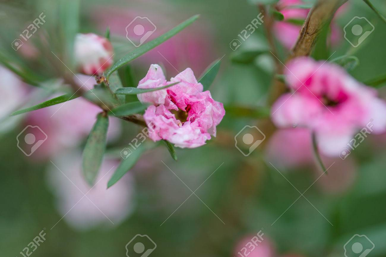 Beautiful Pink Flower Bush In The Spring Stock Photo Picture And