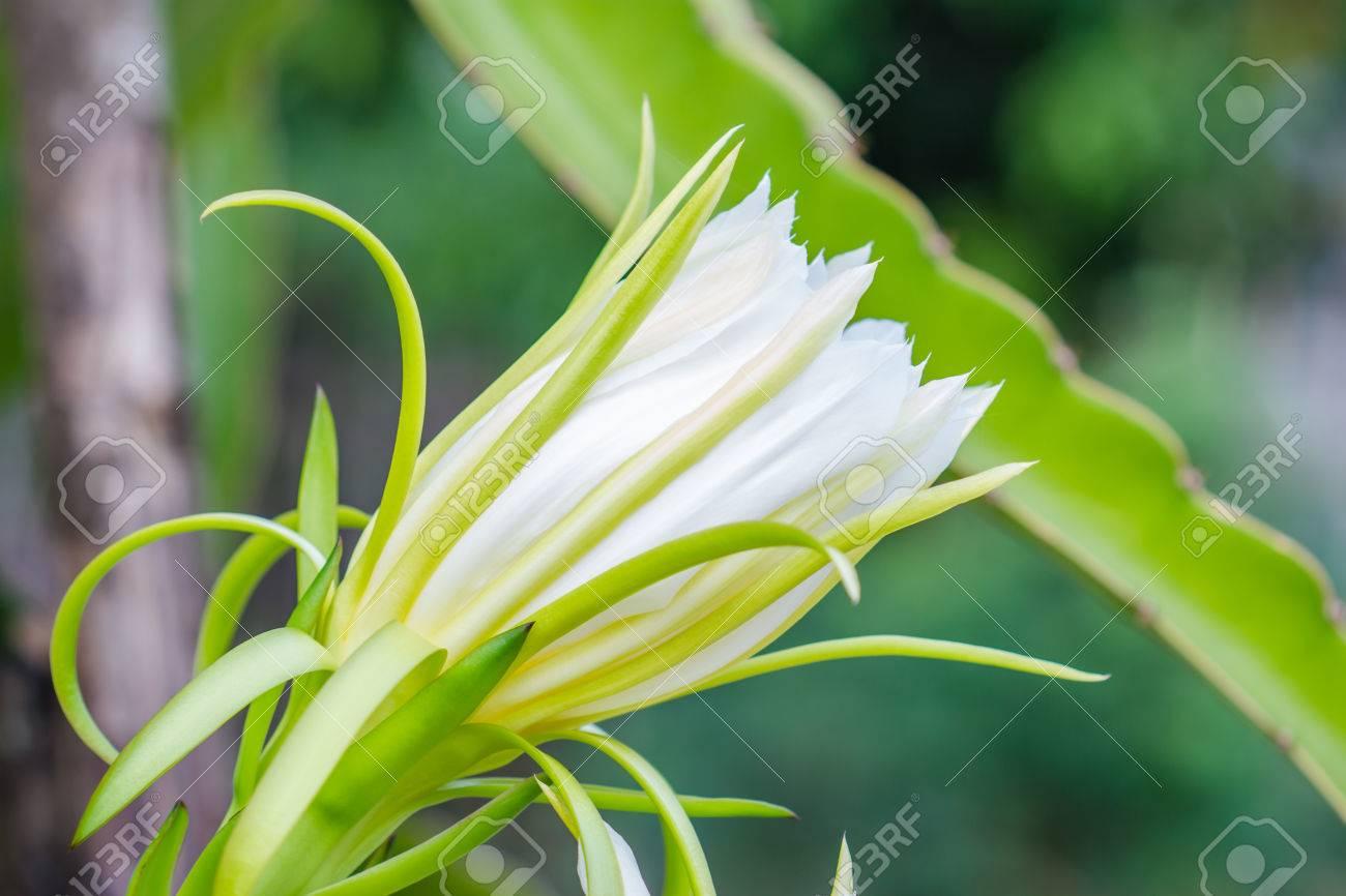Blossom white flower of dragon fruit stock photo picture and blossom white flower of dragon fruit stock photo 28482448 mightylinksfo