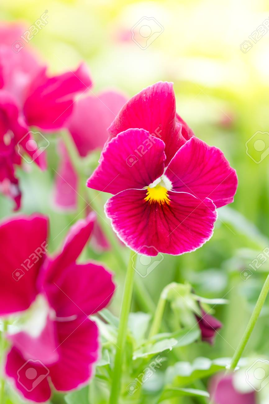 Red Pansy Flowers In Spring Stock Photo Picture And Royalty Free