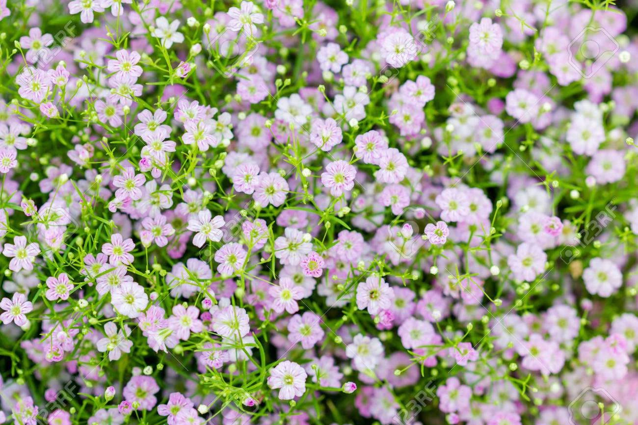 Background of little pink flowers blooming bush stock photo picture background of little pink flowers blooming bush stock photo 37573588 mightylinksfo
