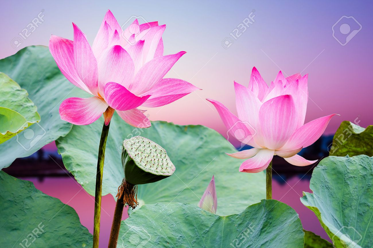 Lotus flower pink stock photos royalty free lotus flower pink lotus flower pink beautiful pink lotus flower in blooming at sunset dhlflorist Images