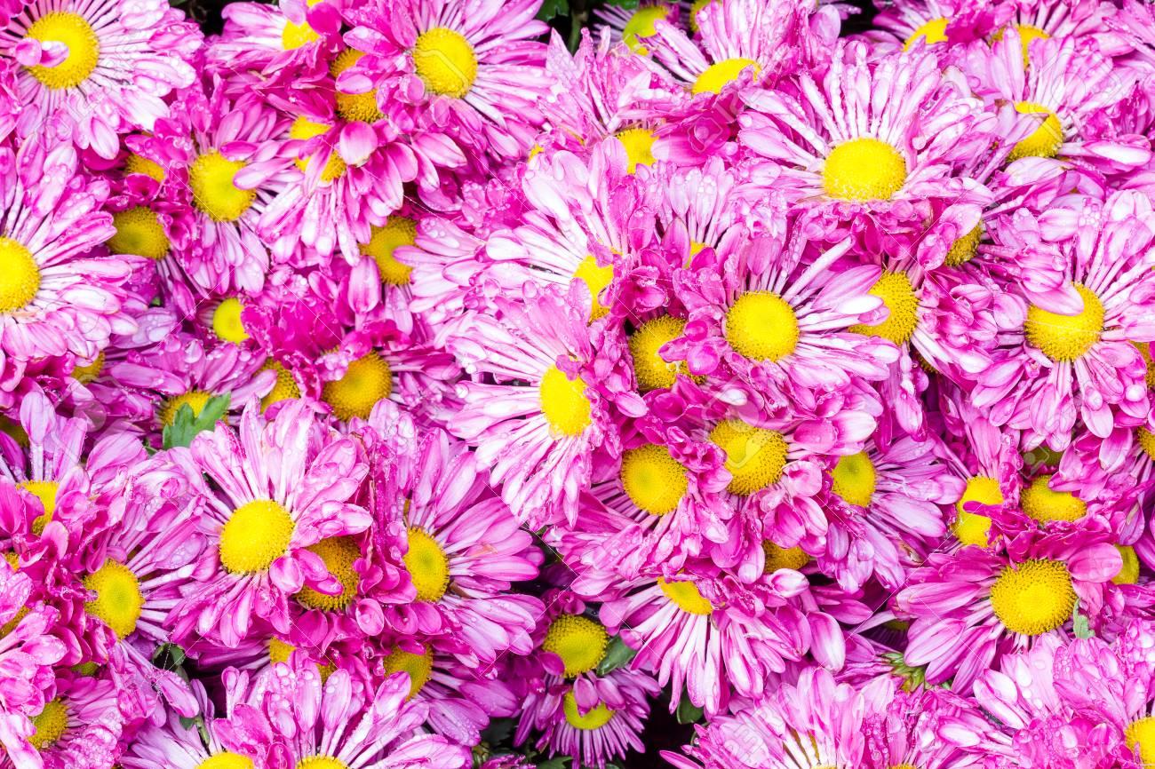 Beautiful Flowers Of Chrysanthemums Chrysanthemums Flowers