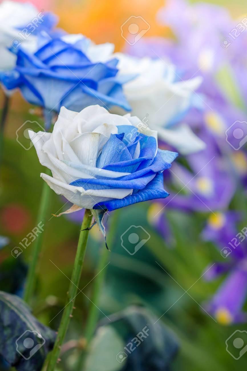 Rosas Blancas Y Azules Hermosas En Jardín De Flores Fotos Retratos