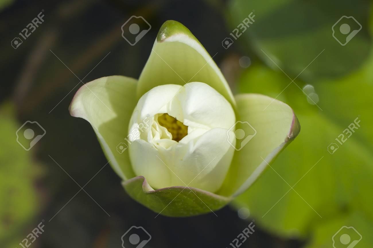 Elegant White Lily Flower Lotus In Water The Lotus Flower Stock