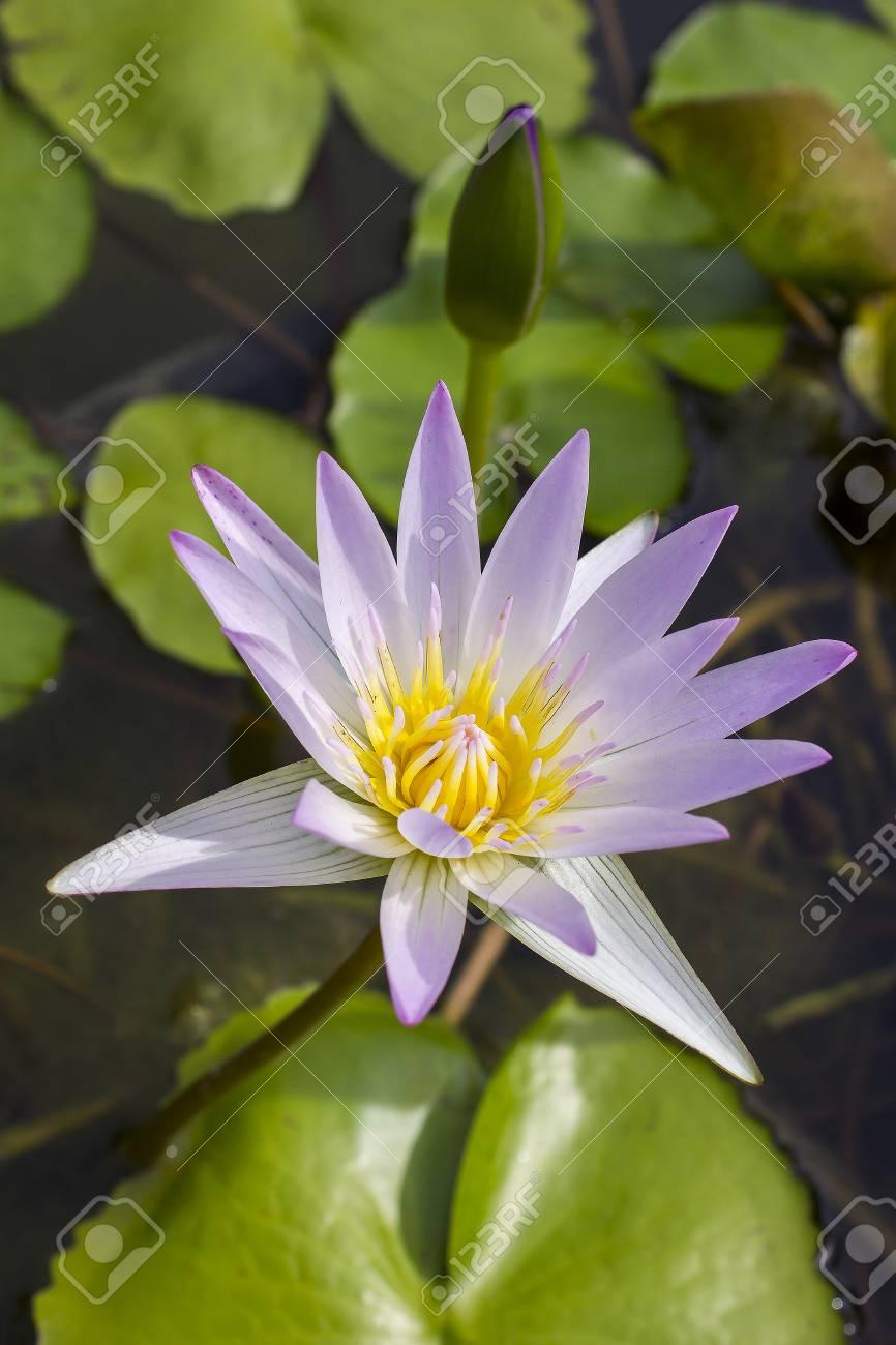 Elegant Pink Lily Flower Lotus In The Water The Lotus Flower