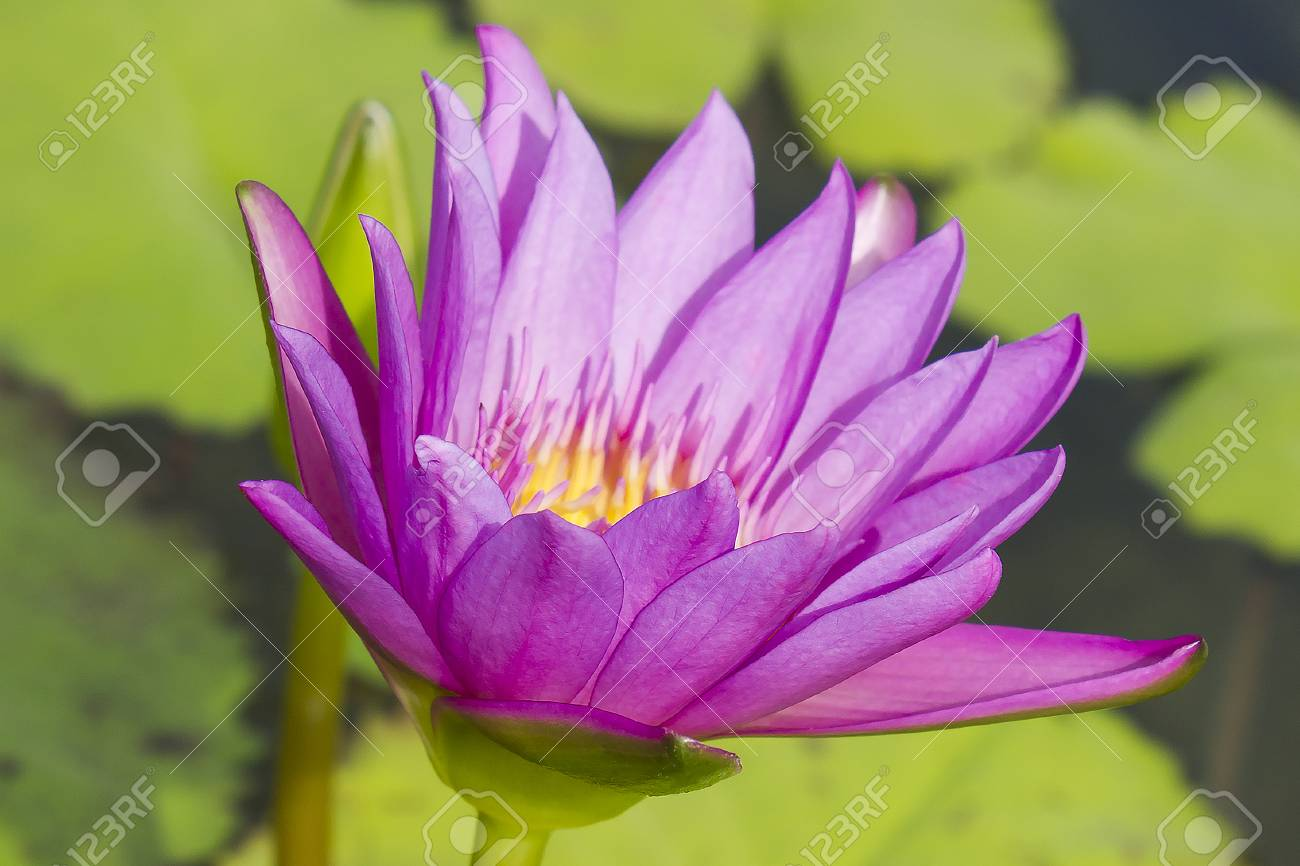 Elegant Pink Lily Flower Lotus In The Water The Lotus Flower
