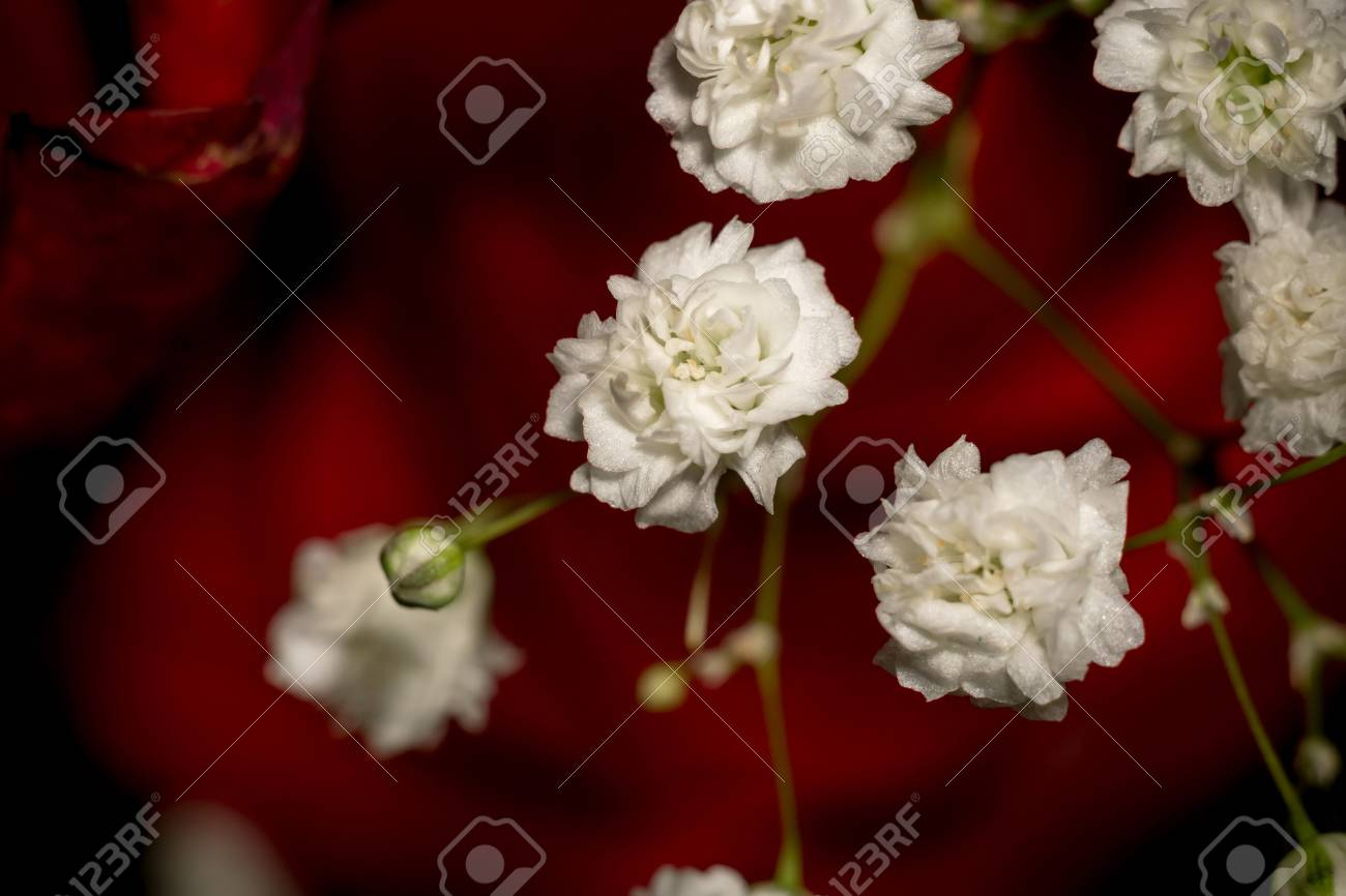 Small White Flowers, Gypsophila (baby\'s Breath) In A Bouquet. Stock ...