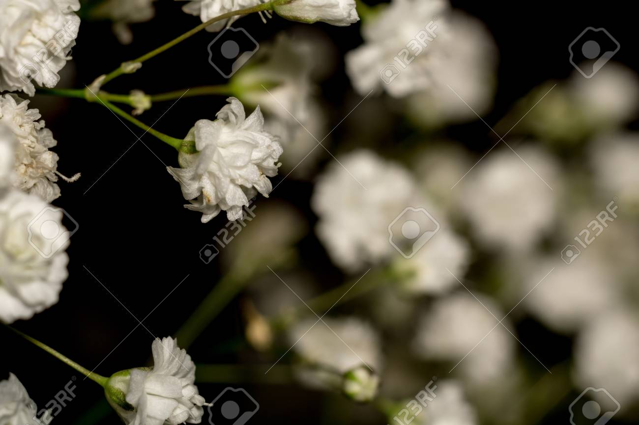 Small White Flowers Gypsophila Baby S Breath In A Bouquet Stock Photo Picture And Royalty Free Image Image 42691739