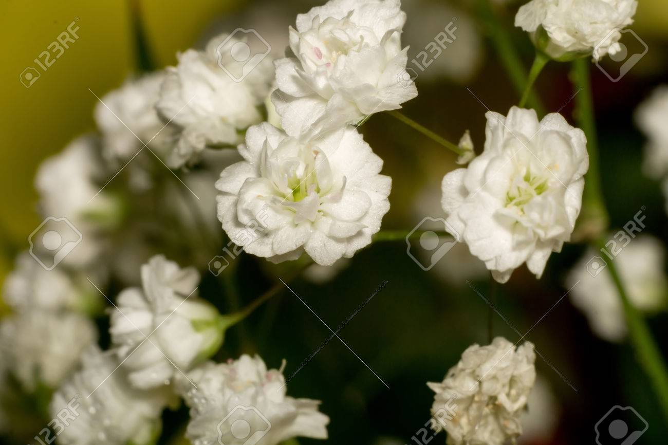 Small White Flowers, Gypsophila (baby\'s Breath) In Bouquet. Stock ...