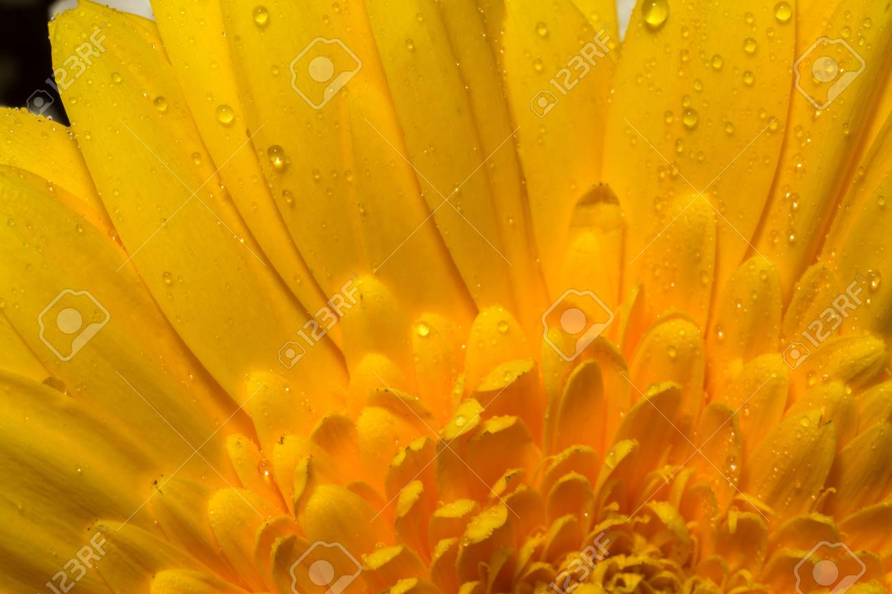 Big Gerbera Flower Of Bright Yellow Color Macro Photo Stock Photo