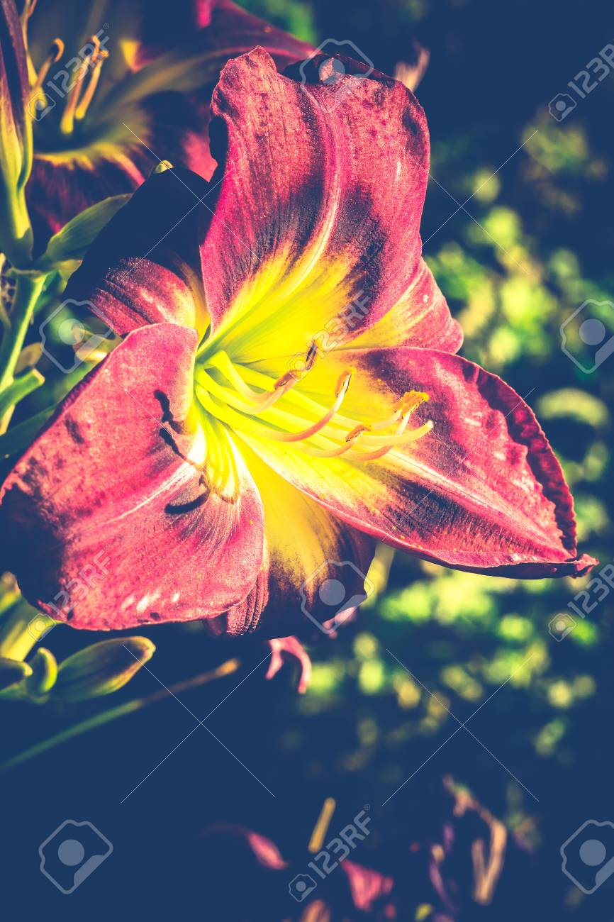 Decorative lily flower of purple and green color stock photo decorative lily flower of purple and green color stock photo 64974735 izmirmasajfo