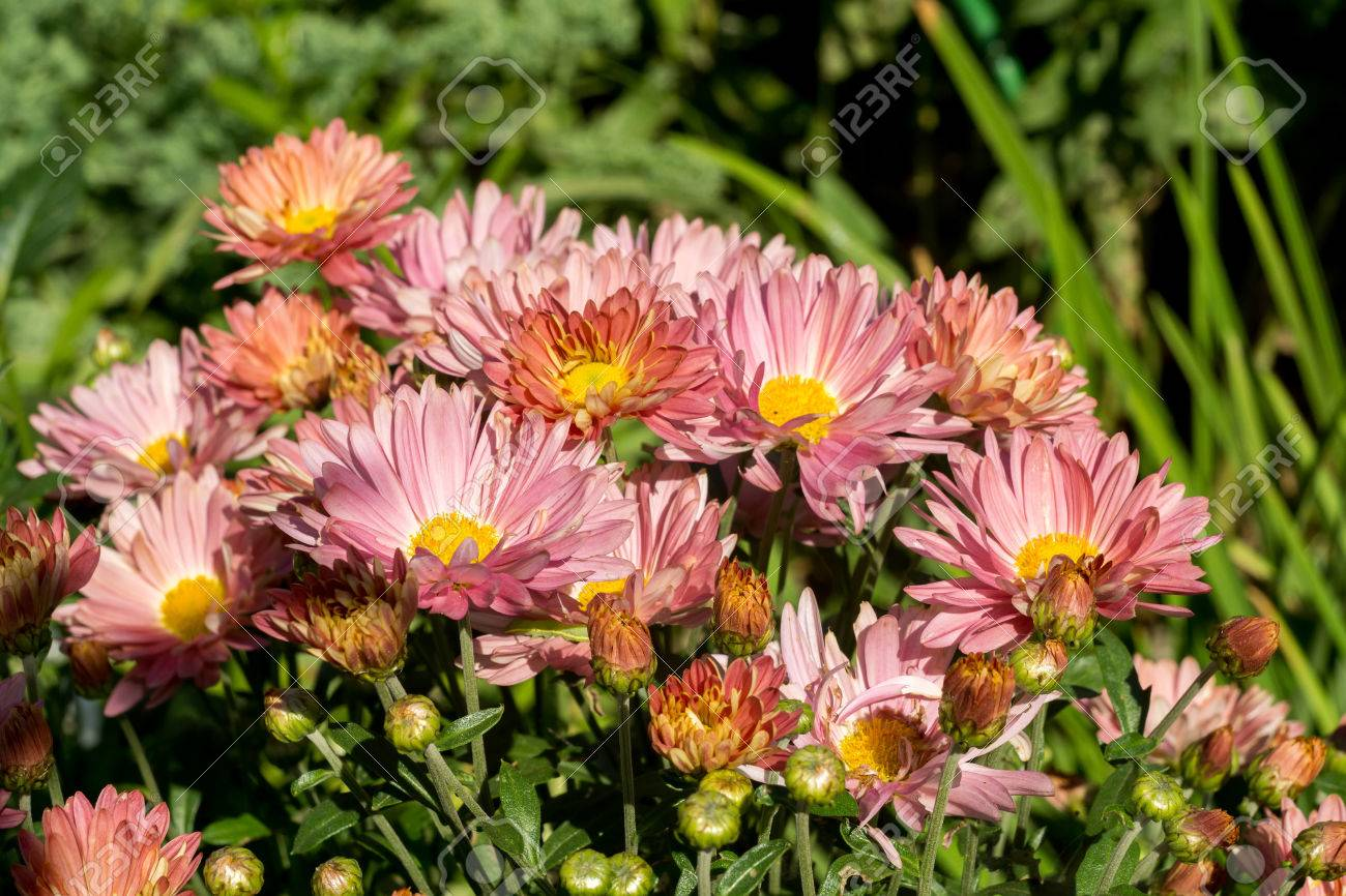 Golden Daisy Pink Chrysanthemum Bush In The Garden Autumn Flowers