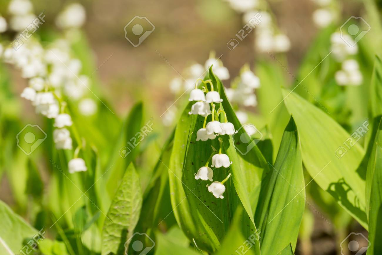 Blooming Lily Of The Valley Flowers In Spring Garden Stock Photo