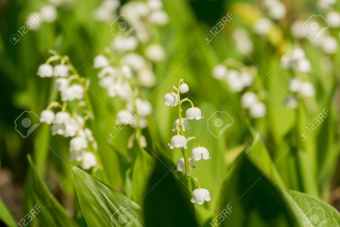 Blooming lily of the valley flowers in spring garden stock photo blooming lily of the valley flowers in spring garden stock photo 72757742 mightylinksfo