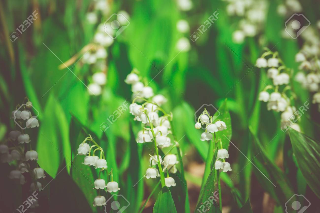 Blooming Lily Of The Valley Flowers In Spring Garden Filtered