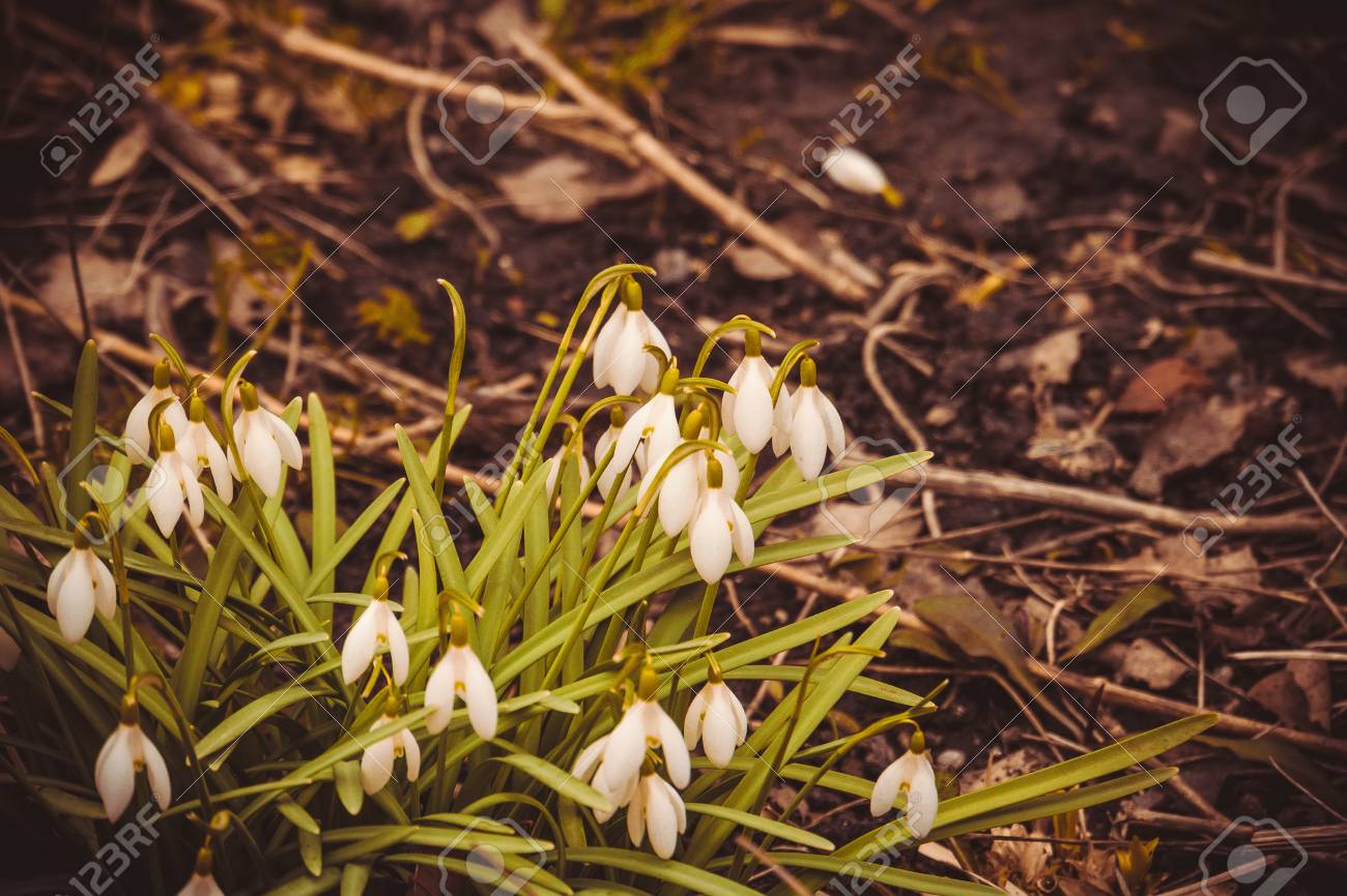 First Spring Flowers White Snowdrops Blooming In The Garden,.. Stock ...