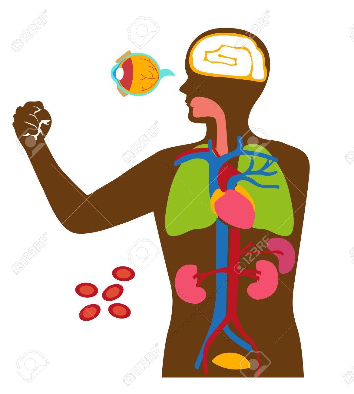 Los órganos Dentro Del Cuerpo Humano. Ilustraciones Vectoriales ...
