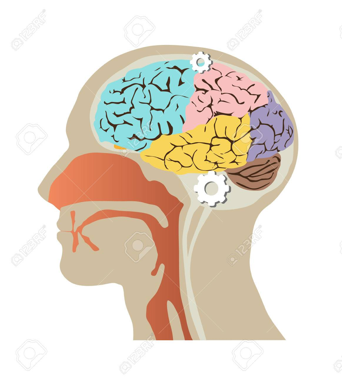 Imágenes De La Cabeza Humana Dentro Del Cráneo Y El Cerebro ...