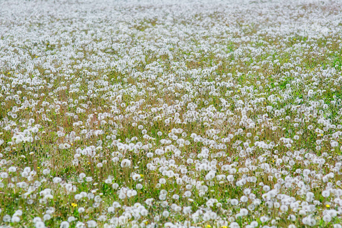 Large field Of dandelion field. Natural grass of fluffy spring dandelions - Taraxacum officinale. Concept of world environment day. - 158596257