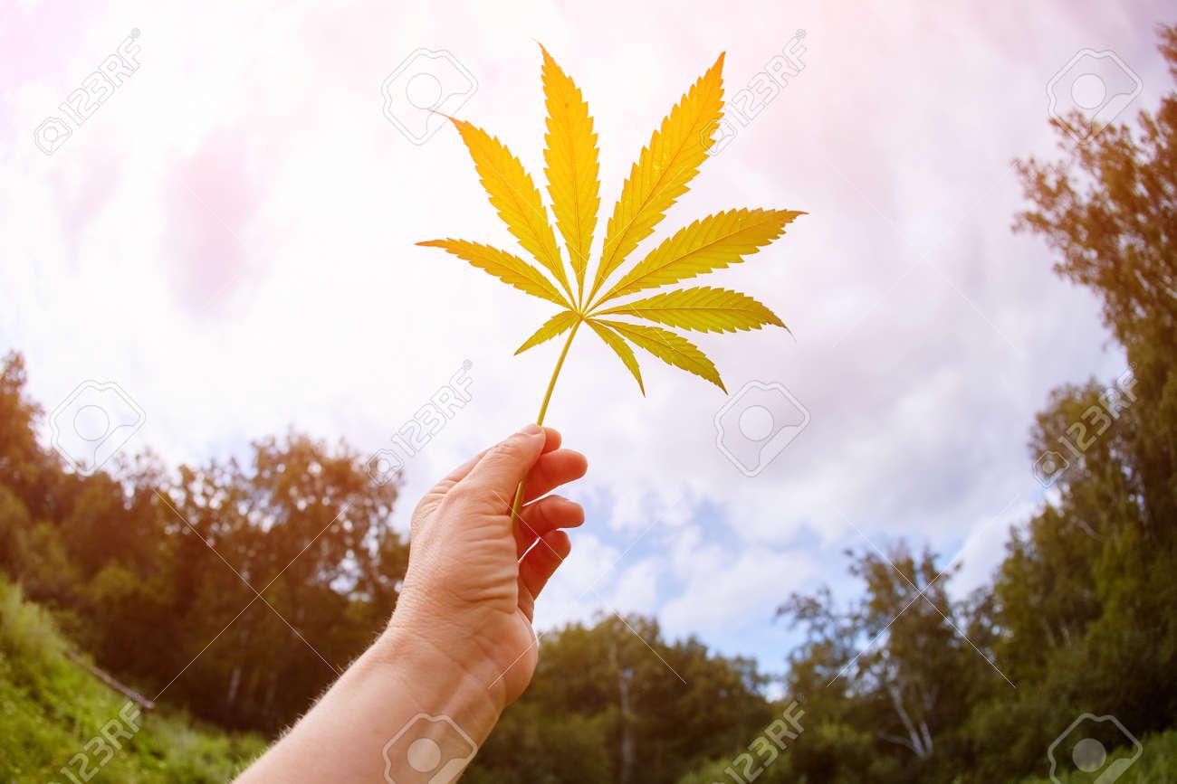 Cannabis leaves hemp stem outdoors against a blue sky background. - 158596258