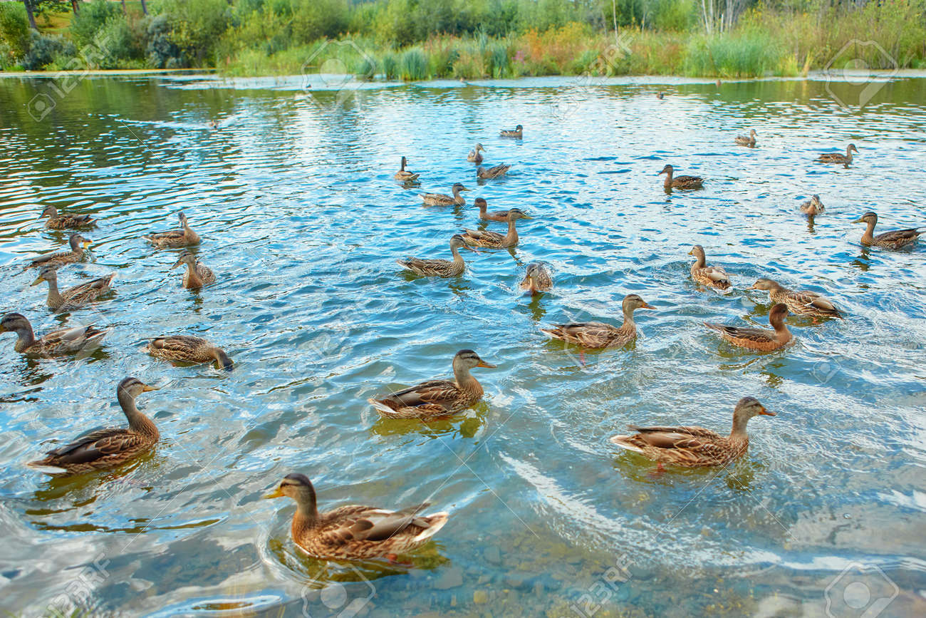 There is a large flock of wild ducks swimming in the swamp. Object of seasonal hunting for waterfowl - 158618871