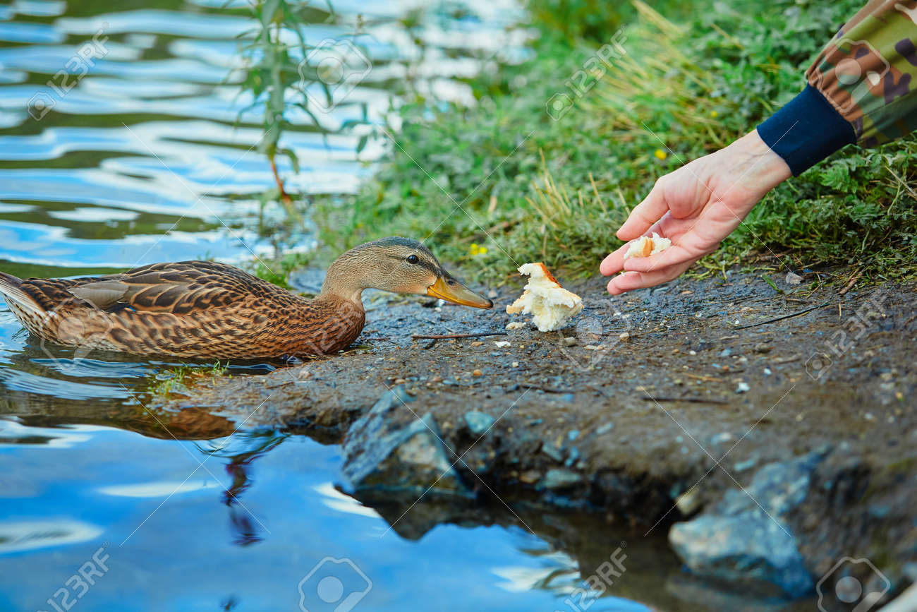 Human feeds a wild duck white bread. The concept of love and respect for nature and animals. - 158618872