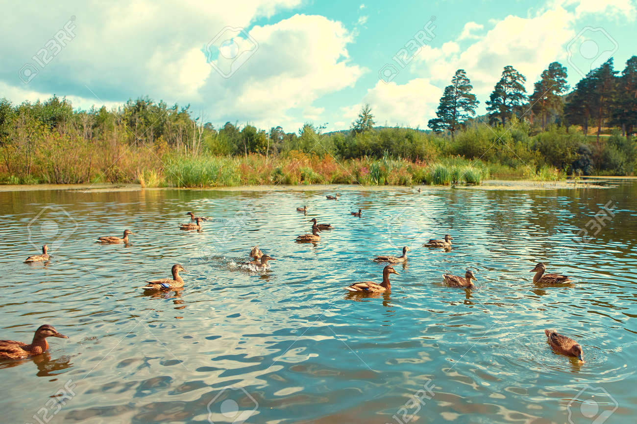 There are many wild ducks swimming in the natural reservoir - 158618873