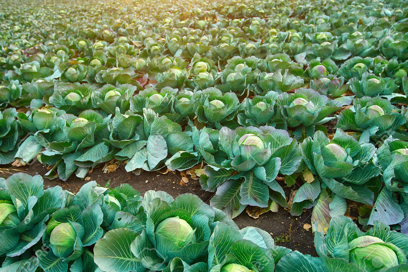 Green cabbage grows on collective farm fields in Russia. - 158618978