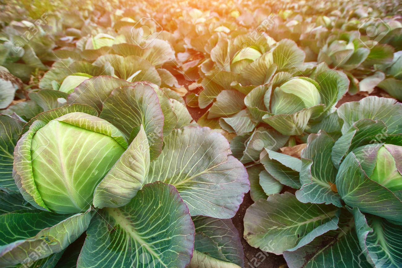 Late-season cabbage for canning in the autumn farmer's field. - 158664312