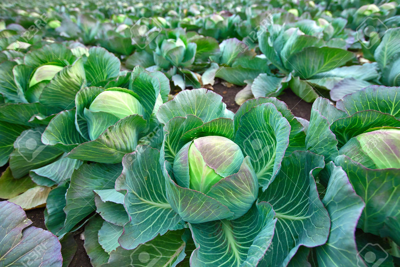 Late-season cabbage for canning in the autumn farmer's field. - 158664313