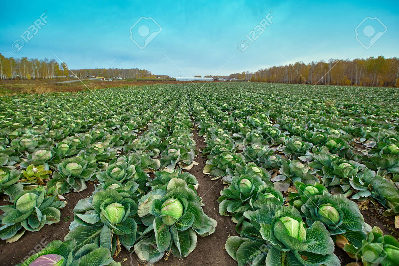 Rows of ripe green cabbage before harvesting in a farmer's field. - 158664314