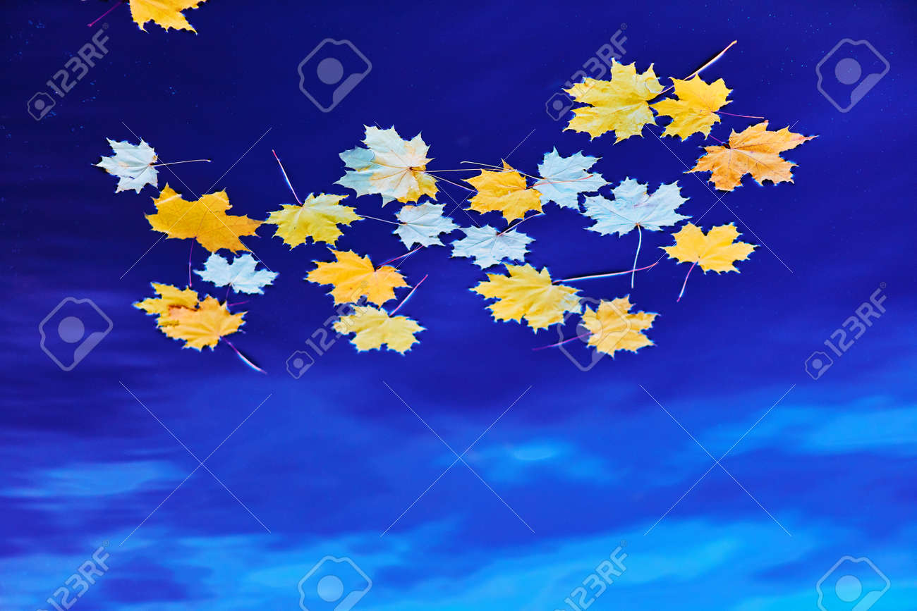 Fallen autumn yellow maple leaves on the surface of blue water. Space for your text. - 158664320