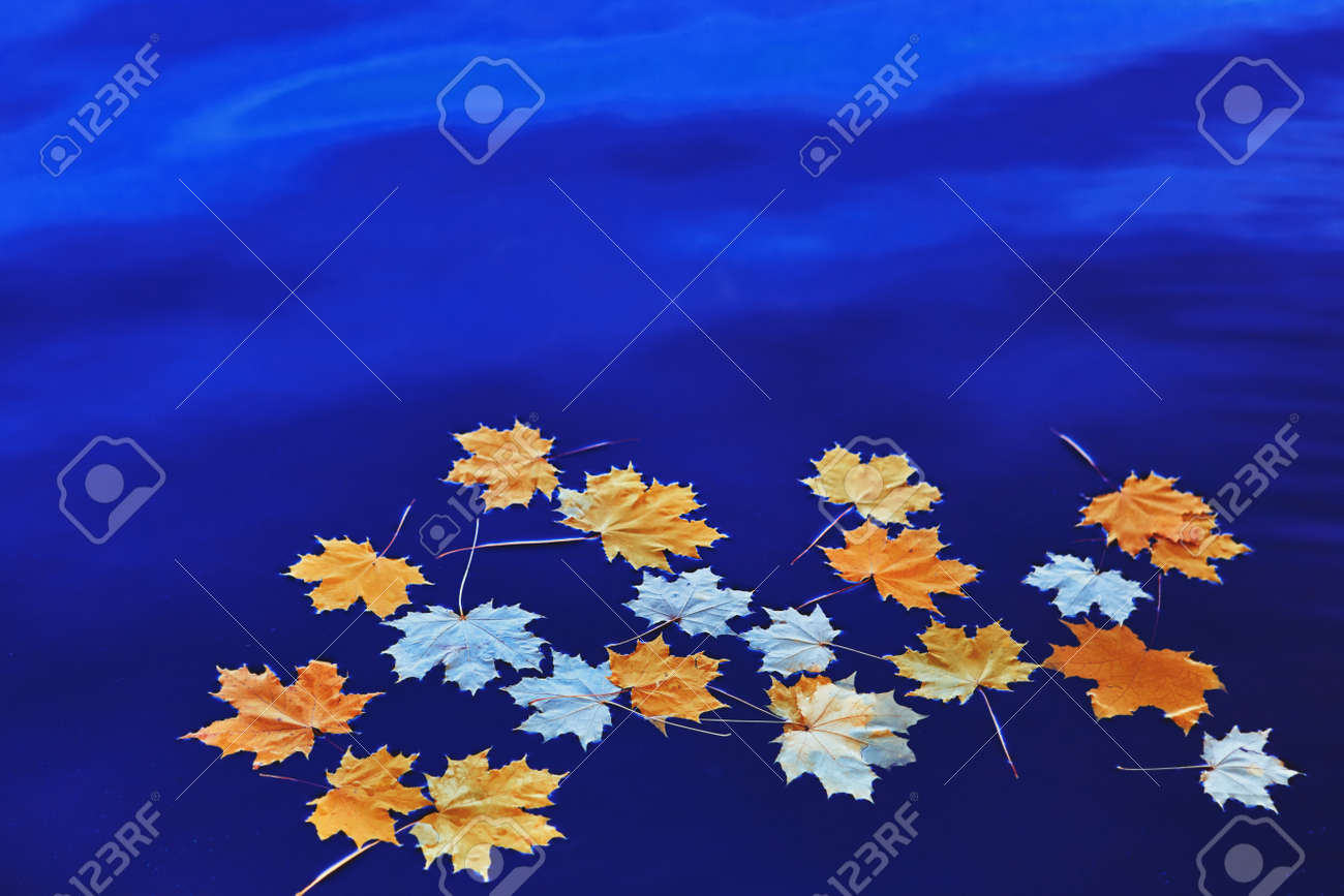 Fallen autumn yellow maple leaves on the surface of blue water. Space for your text. - 158664321