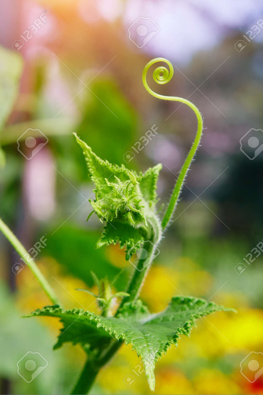 A close up of a tendril growing on a cucumber plant. The plants in the greenhouse non-GMO, vegetarian food - 158561240